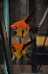 Thumbnail for fwangelfish1532352604