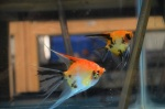 Thumbnail for fwangelfish1532353202