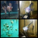 Thumbnail for fwangelfish1532356258