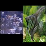 Thumbnail for fwangelfish1532371025