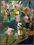 Thumbnail for fwangelfish1532371962