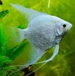 Thumbnail for fwangelfish1534510130