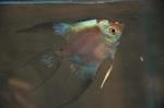 Thumbnail for fwangelfish1534519806