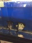 Thumbnail for fwangelfish1534951802