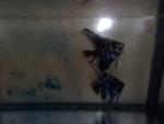 Thumbnail for fwangelfish1540078802