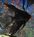 Thumbnail for fwangelfish1540512602