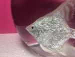 Thumbnail for fwangelfish1550777178