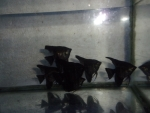 Thumbnail for fwangelfish1550887802