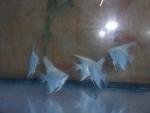 Thumbnail for fwangelfish1550888749