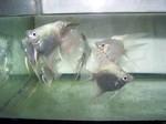 Thumbnail for fwangelfish1555880086