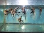 Thumbnail for fwangelfish1555880187