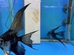 Thumbnail for fwangelfish1561076039
