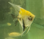 Thumbnail for fwangelfish1561241887