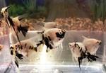 Thumbnail for fwangelfish1569040306