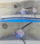 Thumbnail for fwangelfish1569181742