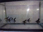 Thumbnail for fwangelfish1569361408