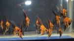 Thumbnail for fwangelfish1569381002