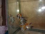 Thumbnail for fwangelfish1569462812