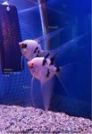 Thumbnail for fwangelfish1569484143