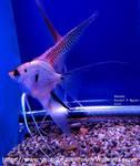Thumbnail for fwangelfish1569701942