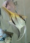 Thumbnail for fwangelfish1571149202