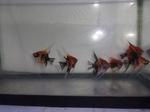 Thumbnail for fwangelfish1571440819