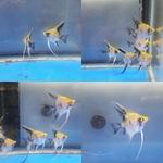 Thumbnail for fwangelfish1572229216
