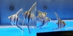 Thumbnail for fwangelfish1574025500