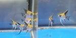 Thumbnail for fwangelfish1574026181