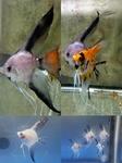 Thumbnail for fwangelfish1574026979
