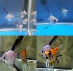 Thumbnail for fwangelfish1574027760