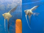 Thumbnail for fwangelfish1579540317