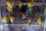 Thumbnail for fwangelfish1582510125