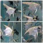 Thumbnail for fwangelfish1583118149