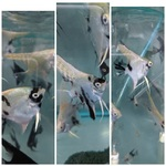 Thumbnail for fwangelfish1583118274