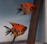 Thumbnail for fwangelfish1583360402