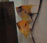 Thumbnail for fwangelfish1593994209