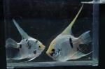 Thumbnail for fwangelfish1594050515