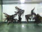 fwangelfish&1607283973 Thumbnail