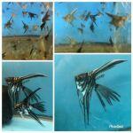 fwangelfish&1607302572 Thumbnail