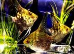 Thumbnail for fwangelfish1608086884