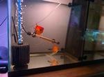 Thumbnail for fwangelfish1618604632
