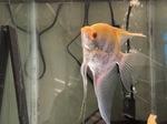fwangelfish&1620426876 Thumbnail