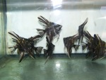 fwangelfish&1620599511 Thumbnail