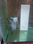 Thumbnail for fwangelfish1628038058