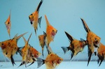 Thumbnail for fwangelfish1632162489