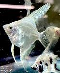 Thumbnail for fwangelfish1634773870
