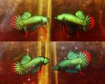 Thumbnail for fwbettas1571650802