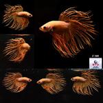 Thumbnail for fwbettasct1583172006