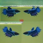 fwbettasct&1604203203 Thumbnail